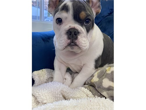 Tri Merle English Bulldog