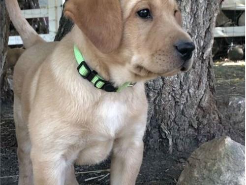 AKC Labrador Puppy Betsy