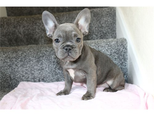 Lovely French Bulldog