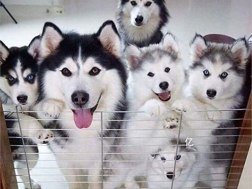 Pure husky puppies