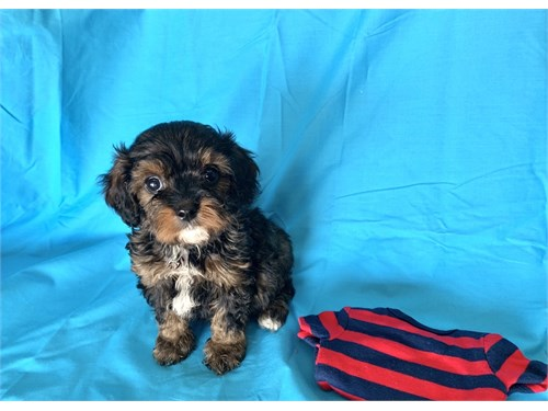 CAVALIER-PODDLE PUPPY