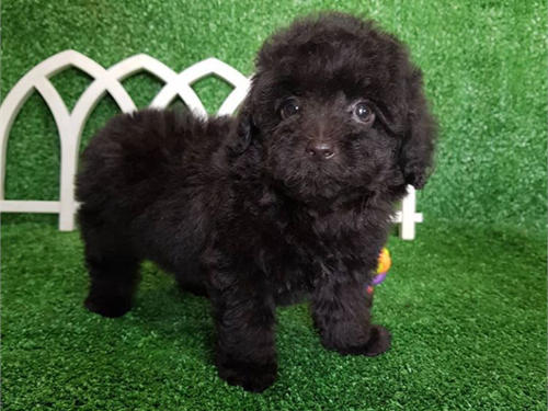 Truffles – Toy poodle pup
