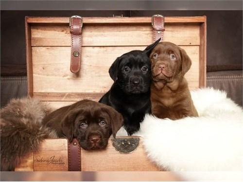 ,,./cute la.br.ador pupps