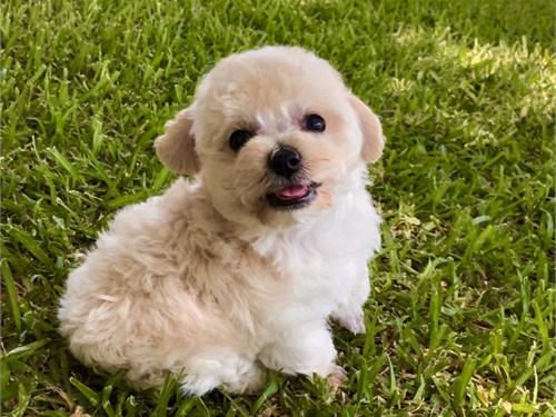Poodle/tiny-toy
