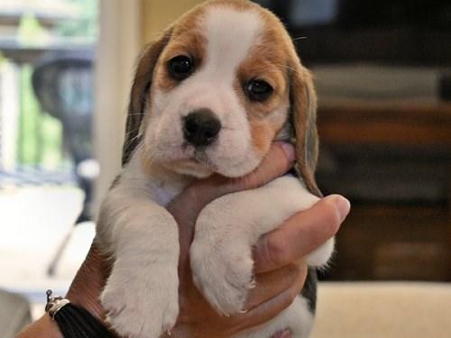 Bea gle pup s
