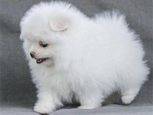 Beautiful Pomeranian Pups