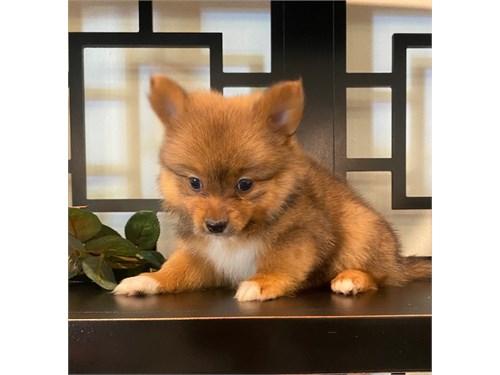 Pomeranian/Yorkies 4