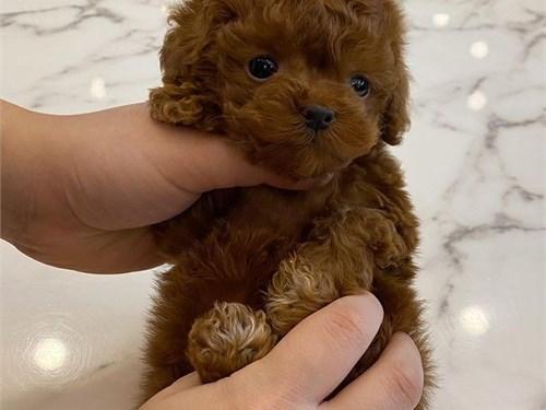 Reg AKC Toy Poo-dle Pups