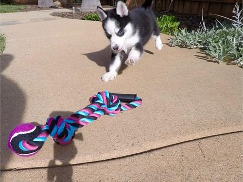 Female Pomsky Puppy!!!
