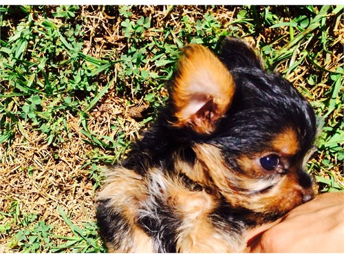 CKC TEACUP YORKIES!