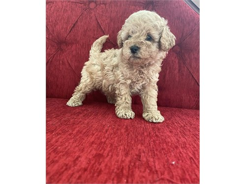 Family teacup poodle