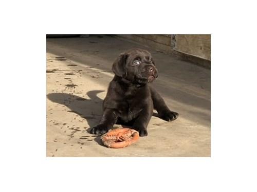 AKC English Labrador Pups