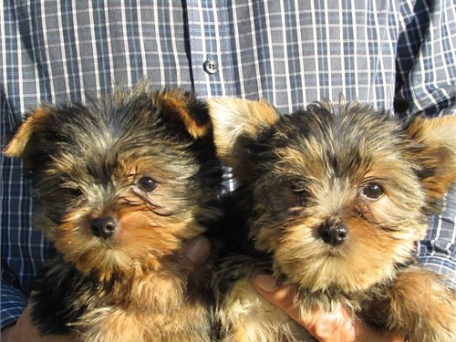 Two gorgeous Yorkie pups