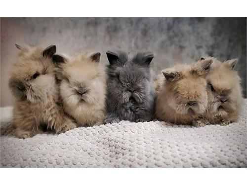 Dwarf Lionhead bunnies