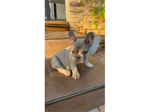 Blue Fawn Merle Frenchie