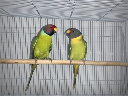 Plum Headed Parrot Pair
