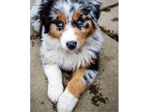 100% Aussie Puppies