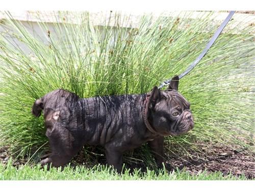 A.k.c French Bulldog stud