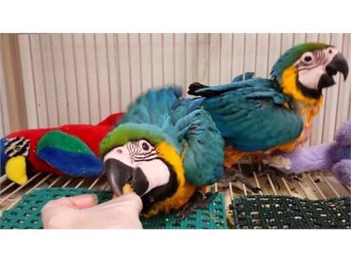 macaws parrots for Sale