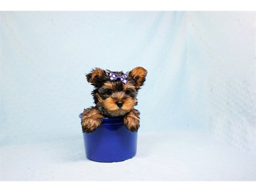 Gorgeous Teacup Yorkies