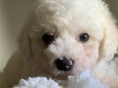 Beautiful maltipoo puppie