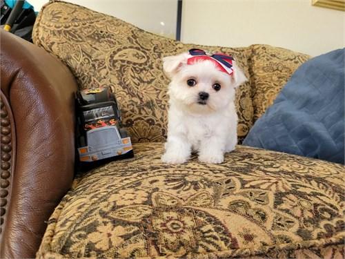 Tiny Teacup Maltese Girl