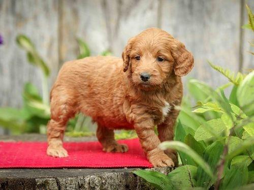 Red Min Golden Doodle Pup