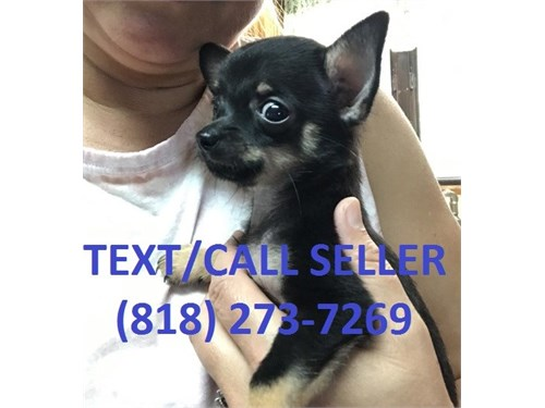 Chihauhua Pups For Sale