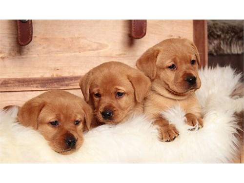 ln cute la.br.ador pupps