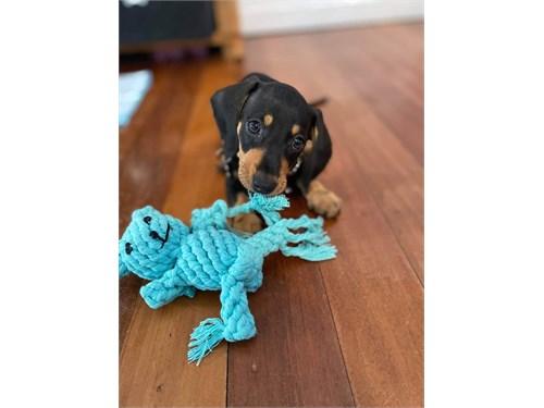 amazing dachs-hund uppies