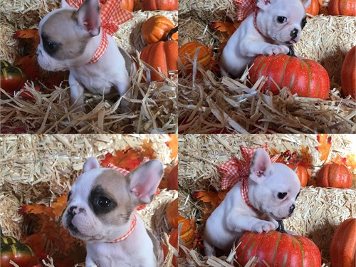 Exquisite Frenchie AKC