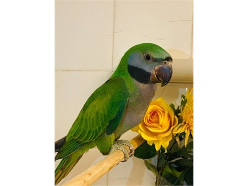 Young Derbyan Parrot