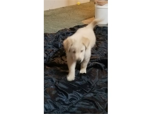 7 week old puppy