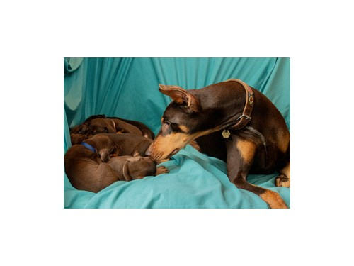CKC red doberman puppies