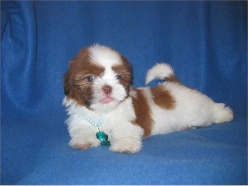 Cute Shih Tzu Pup. Female