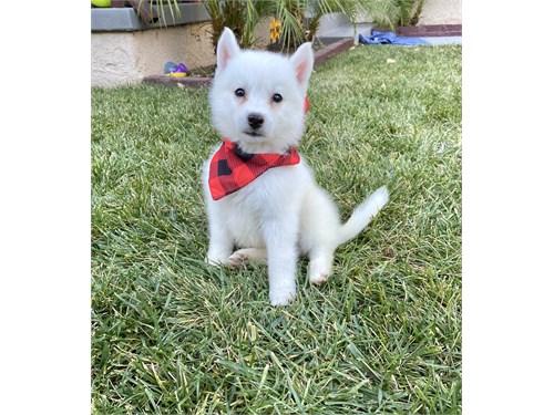 HuskyPom (Pomsky) Puppies