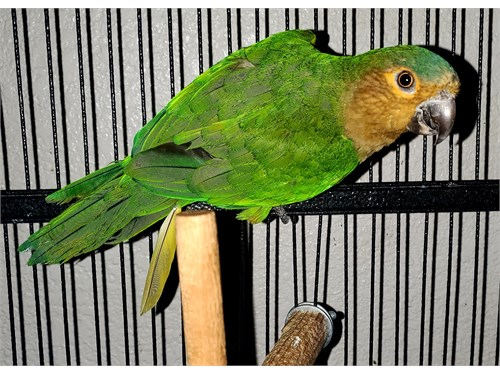 Rare brown throat conure
