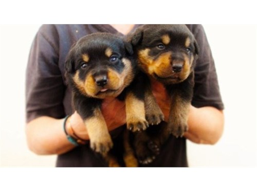 Socialized Rottweiler Pup