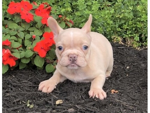 M/F French bulldogs pups