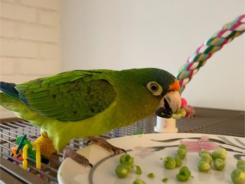 super cute conure parrot