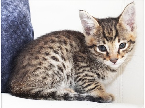 Savannah Kittens Availabl