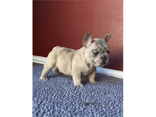 Blue fawn merle frenchie!