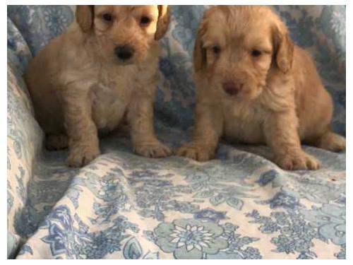 Two Cockapoo puppies