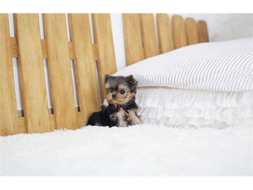 yorkie available