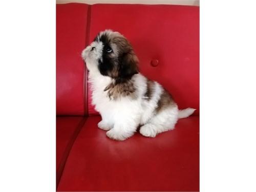 Shih Tzu puppies NO SCAM