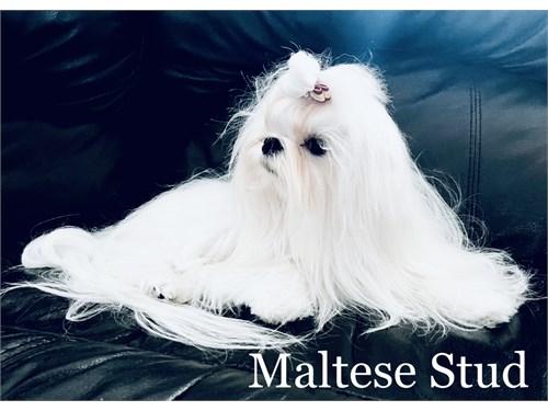 tcup Maltese stud