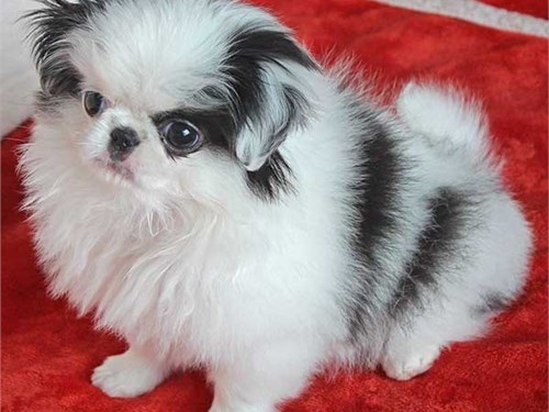 Japanese Chin Pups