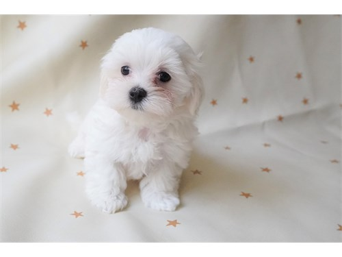 Maltese Brother Pups