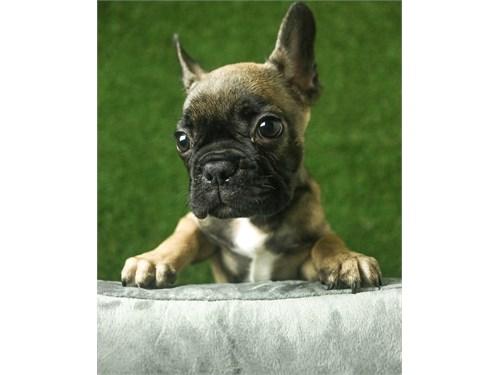 Sable French Bulldog Pup