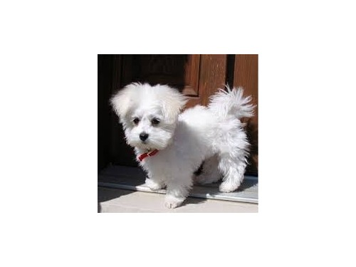 CUTE MALTESE FOR YOUR HOM